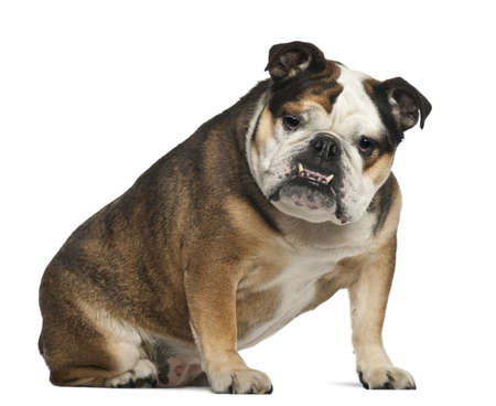 animal themes: English Bulldog, 6 years old, sitting against white background