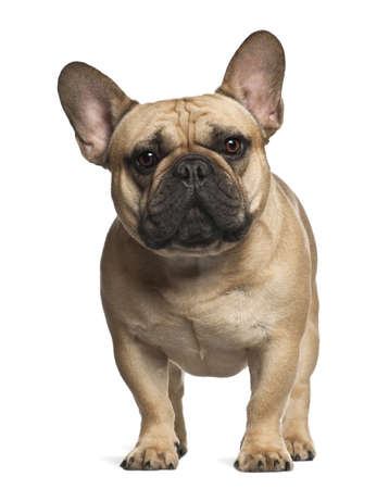 french bulldog: French Bulldog standing against white background