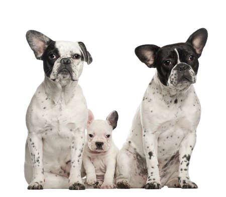 animal themes: French bulldogs with puppy, 4 weeks old, sitting against white background
