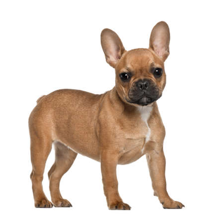French Bulldog puppy, 5 months old, standing against white background photo