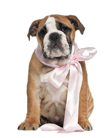 English Bulldog puppy, 2 and a half months old, wearing bow and sitting against white background photo