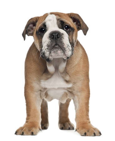 English Bulldog puppy, 2 and a half months old, standing against white background photo