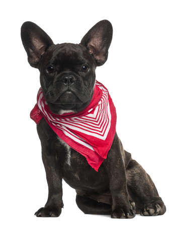 French Bulldog puppy, 6 months old, sitting wearing neckerchief against white background photo