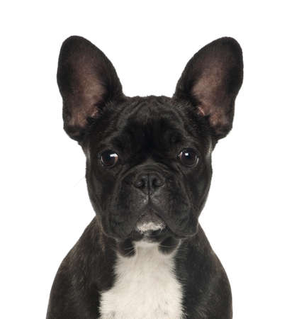 French Bulldog puppy, 6 months old, against white background photo