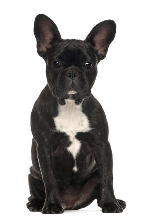 French Bulldog, 6 months old, sitting against white background photo