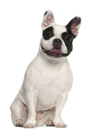 animal themes: French Bulldog sitting against white background