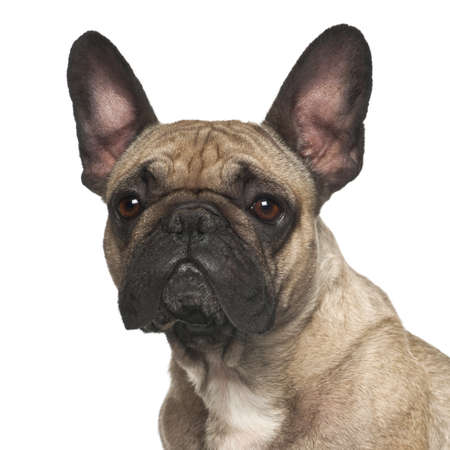 French Bulldog against white background photo
