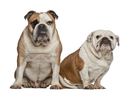 English bulldogs, 5 years old, sitting against white background