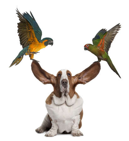 Bleu throated Macaw and Golden capped parakeet pulling up the ears of Basset Hound sitting against white background