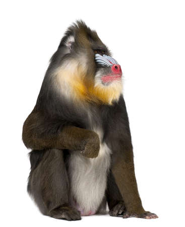 primate: Mandrill sitting, Mandrillus sphinx, 22 years old, primate of the Old World monkey family against white background