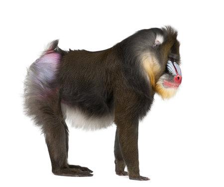 22 세 드릴, Mandrillus 스핑크스, 흰색 배경에 대해 구세계 원숭이 가족의 영장류