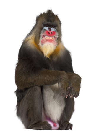 clenching teeth: Mandrill sitting and grimacing, Mandrillus sphinx, 22 years old, primate of the Old World monkey family against white background Stock Photo