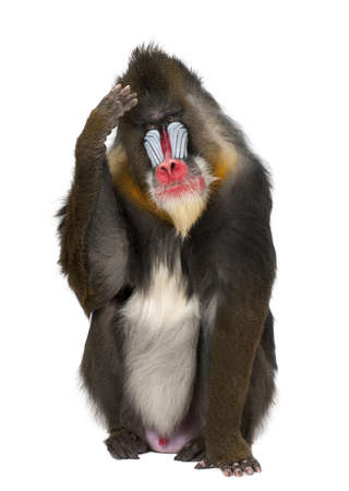 primate: Mandrill scratching head, Mandrillus sphinx, 22 years old, primate of the Old World monkey family against white background