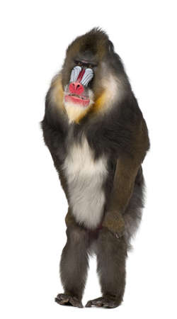 mandrill: Mandrill standing, Mandrillus sphinx, 22 years old, primate of the Old World monkey family against white background