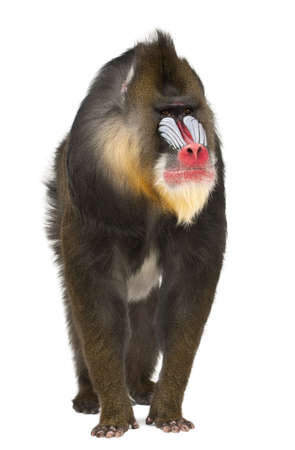 primate: Mandrill, Mandrillus sphinx, 22 years old, primate of the Old World monkey family against white background
