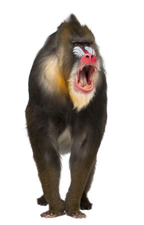 animal in the wild: Mandrill shouting, Mandrillus sphinx, 22 years old, primate of the Old World monkey family against white background Stock Photo