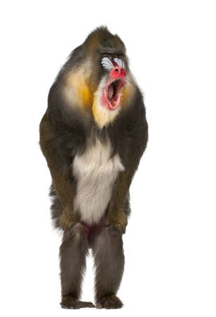 primate: Mandrill standing and shouting, Mandrillus sphinx, 22 years old, primate of the Old World monkey family against white background