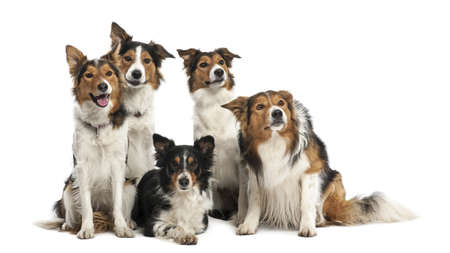 collies: Group of Border Collies against white background