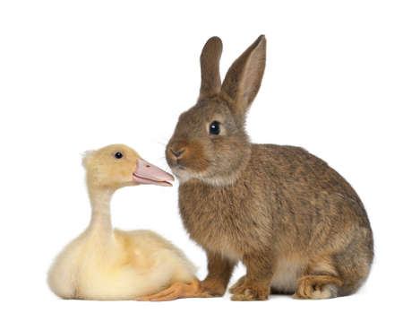 ducklings: Rabbit sniffing duckling against white background