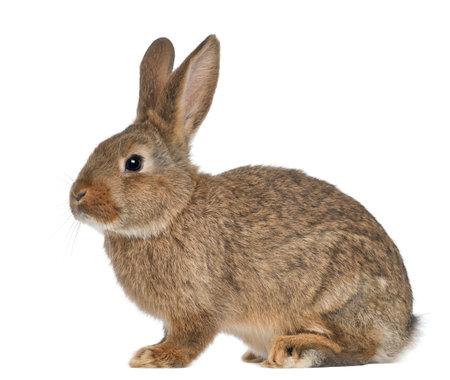 wit konijn: Konijn zittend tegen een witte achtergrond Stockfoto