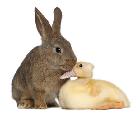 Rabbit sniffing duckling against white background photo