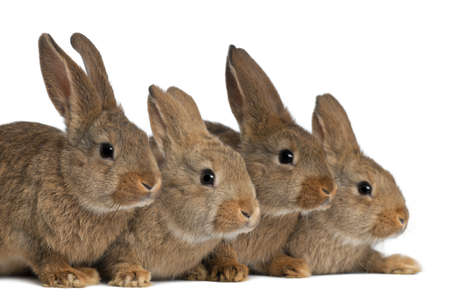 rabbits: Four rabbits against white background