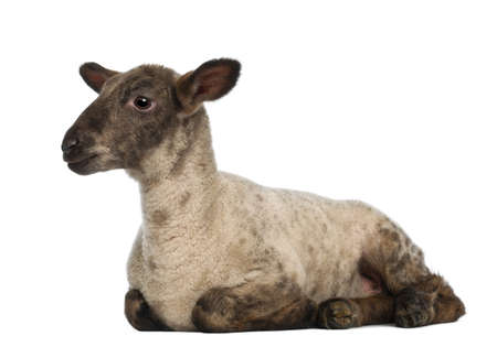lying on side: Lamb lying against white background