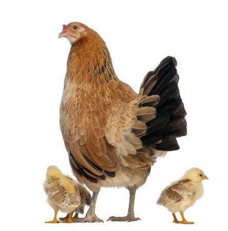 pollitos: Gallina con sus pollitos contra el fondo blanco