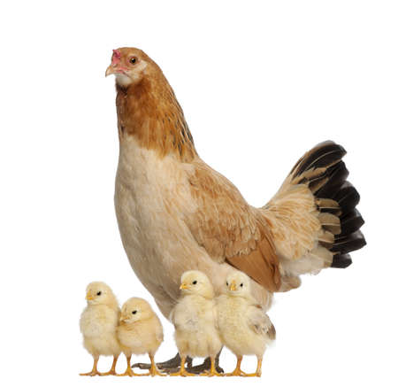 Hen with its chicks against white background photo
