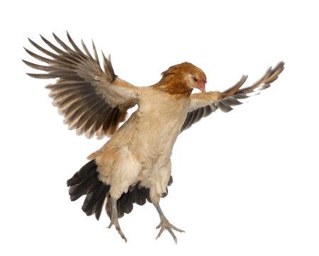 open wings: Hen flying against white background