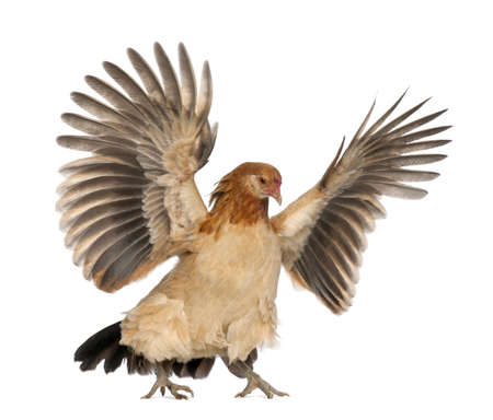 chicken wing: Hen flying against white background