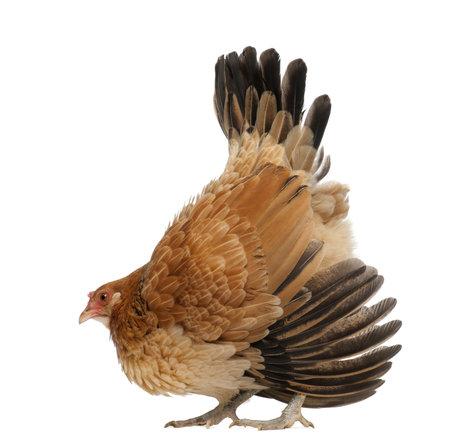 defensive posture: Hen in defensive posture against white background