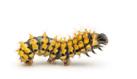 Caterpillar of the Giant Peacock Moth, Saturnia pyri, against white background photo