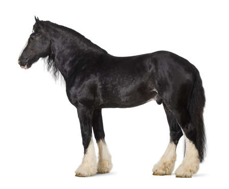 Shire Horse standing against white background photo