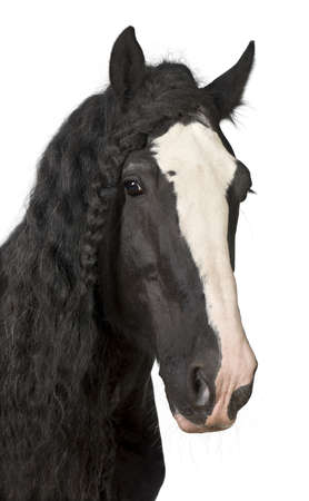 domestic horses: Portrait of Shire Horse against white background