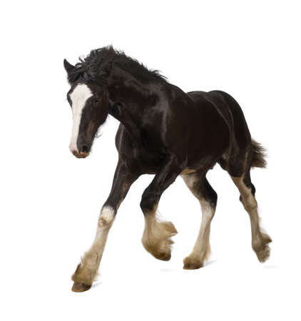 galloping: Shire horse foal galloping against white background