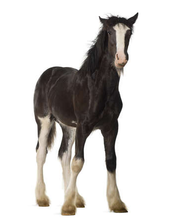 shire horse: Shire horse foal standing against white background