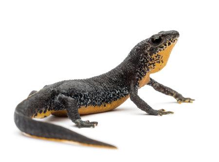 salamander: Tritone alpino, Ichthyosaura alpestris, ex Triturus alpestris alpestris e Mesotriton su sfondo bianco Archivio Fotografico