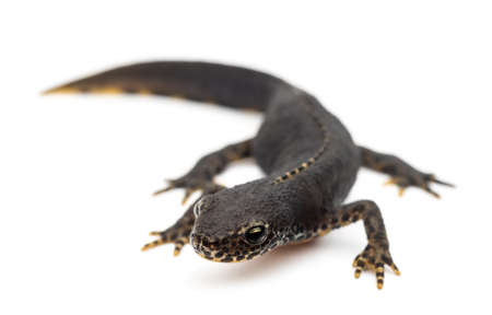 salamandre: Alpine Newt, Ichthyosaura alpestris, autrefois Triturus alpestris alpestris et Mesotriton sur fond blanc