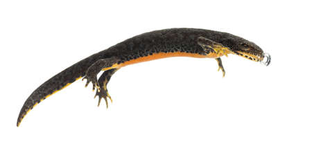 Alpine Newt making bubble, Ichthyosaura alpestris, formerly Triturus alpestris and Mesotriton alpestris against white background Stock Photo - 15342586