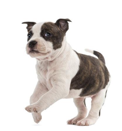 perros jugando: Retrato de American Staffordshire Terrier Puppy carrera, 6 semanas de edad, contra el fondo blanco