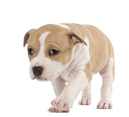 American Staffordshire Terrier Puppy, 6 weeks old, against white background Stock Photo - 15344835