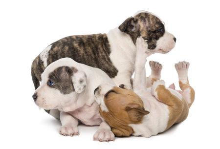 perros jugando: American Staffordshire Terrier Puppies playing, 6 semanas de edad, contra el fondo blanco Foto de archivo