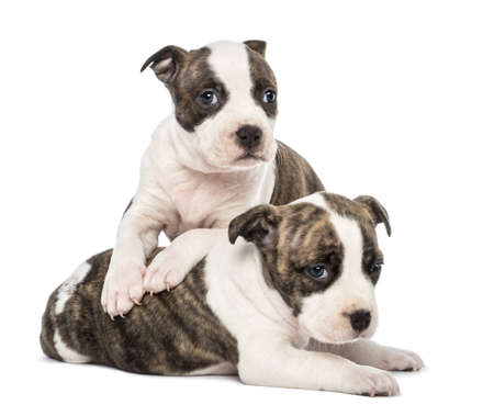 dogs playing: Portrait of American Staffordshire Terrier Puppy lying, 6 weeks old, against white background Stock Photo