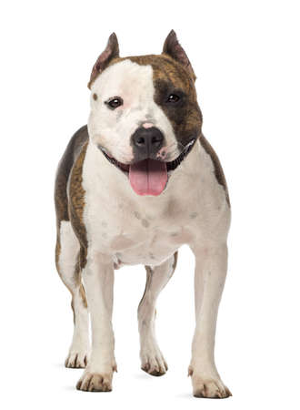 american staffordshire terrier: Portrait of American Staffordshire Terrier, 3 years old, against white background Stock Photo