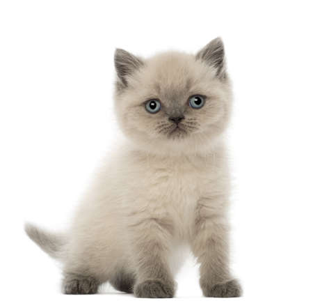 british shorthair: Portrait of British Shorthair Kitten, 9 weeks old, against white background Stock Photo