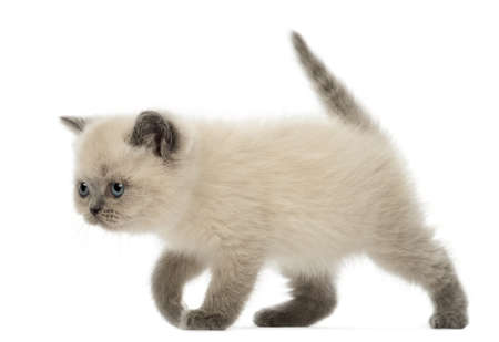 british shorthair: British Shorthair Kitten walking, 9 weeks old, against white background