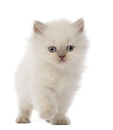 longhair: British Longhair Kitten, 5 weeks old, against white background