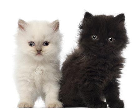 kitten: Portrait of British Longhair Kitten sitting, 5 weeks old, against white background Stock Photo