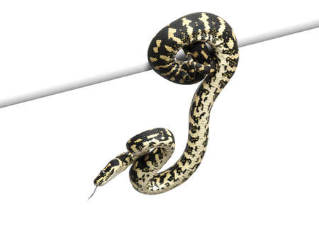 coiled: Jungle carpet python, Morelia spilota cheynei against white background Stock Photo
